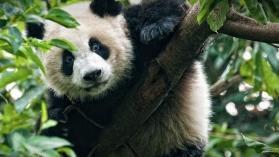 MISSION SPECIALE : PANDAS GEANTS