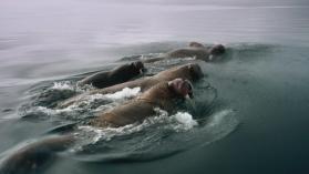 Great Migrations : Assurer sa descendance